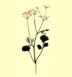 Anis verde semillas (Pimpinella anisum) - 100 g