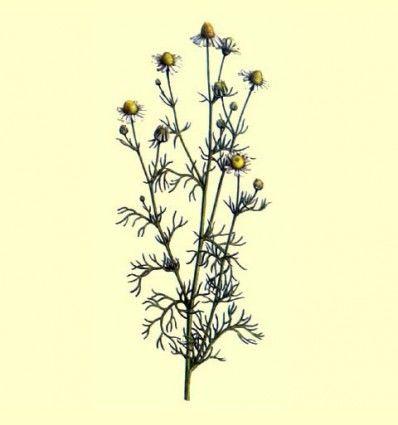 Manzanilla flor (Matricaria recutita L.) - 100 gramos