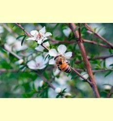 Beneficios de la miel de Manuka - Artículo informativo