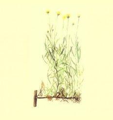 Manzanilla Mahón Flor (Santolina chamaecyparissus) 100 gramos