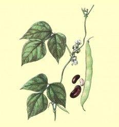 Judias Vainas Cortadas (Phaseolus vulgaris L.) - 100 gramos