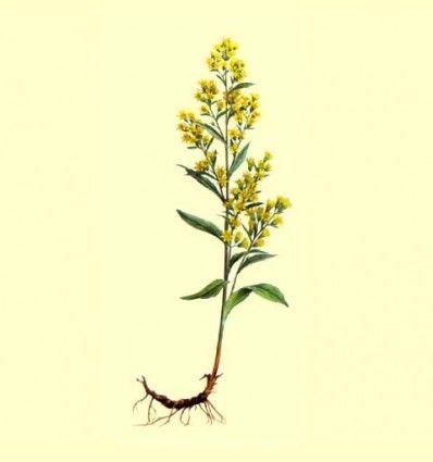 Vara de Oro Planta Cortada (Solidago virgaurea L) - 100 gramos