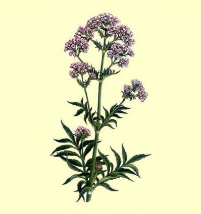 Valeriana Raiz Cortada (Valeriana officinalis L.) - 100 gramos