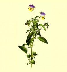Viola Triccolor Planta Cortada - 100 gramos