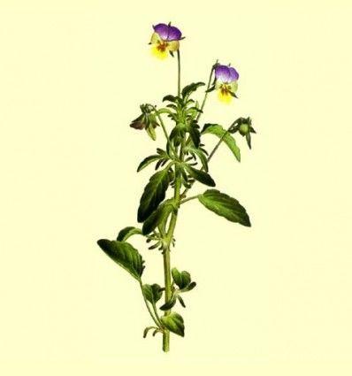 Viola Triccolor Planta Cortada (Viola tricolor L.) - 100 gramos