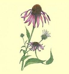 Equinacea - Raiz Cortada - 50 gramos