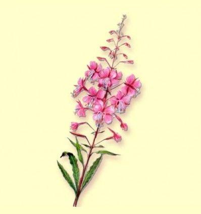 Epilobio Planta Cortada (Epilobium angustifolium) - 100 gramos