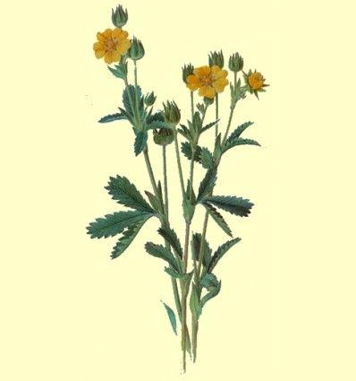 Tormentilla Raiz Cortada (Potentilla erecta) - 100 gramos