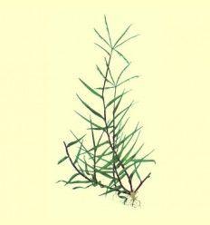 Grama raiz extra cortada (Cynodon dactylon) - 100 gramos