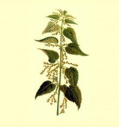 Ortiga verde planta cortada (Urtica dioica) - 100 gramos