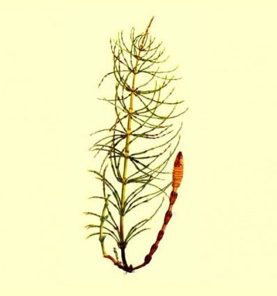 Cola de Caballo planta cortada (Equisetum arvense) - 100 gramos