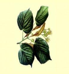Tilo corteza cortada (Tilia platyphyllos) - 100 gramos