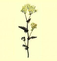 Milenrama flor cribada - (Achillea millefolium L) - 100 gramos