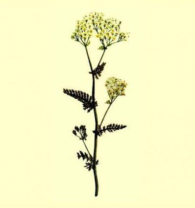 Milenrama flor triturada - (Achillea millefolium L) - 100 gramos