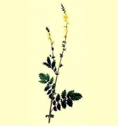 Agrimonia planta cortada (Agrimonia eupatoria L.) - 100 gramos