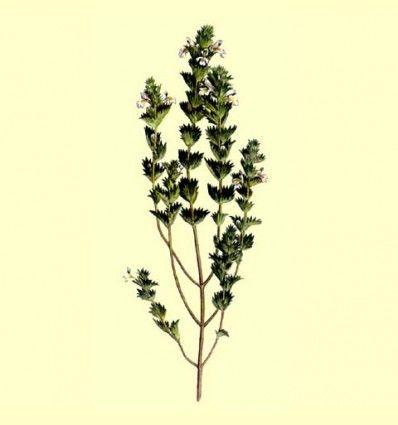 Eufrasia hierba cortada (Euphrasia rostkoviana) 50 gramos