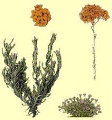 Helicriso (Helicrysum italicum) - Sol de Oro - Precio por 1 kilo