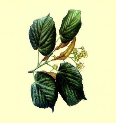 Tila flor cortada a granel (Tilia platyphyllos) - 100 gramos