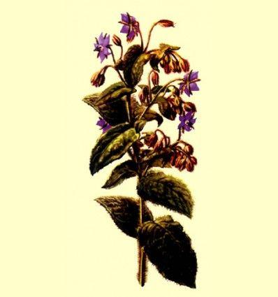 Borraja hoja cortada (Borago officinalis) - 100 gramos