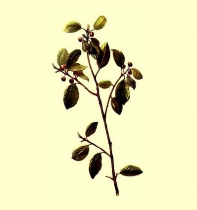Frangula corteza cortada (Rhamnus frangula) - 100 gramos