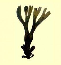 Fucus alga cortada (Fucus vesiculosus) - 100 gramos
