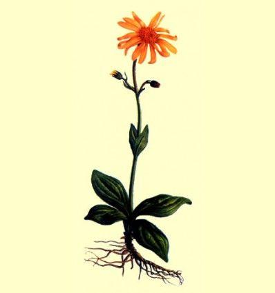 Arnica Montana planta cortada 100 gramos