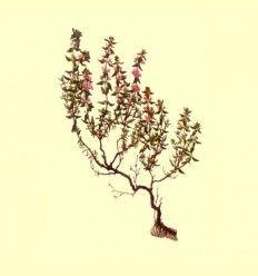Tomillo hoja y flor selecta (Thymus vulgaris) - 100 gramos