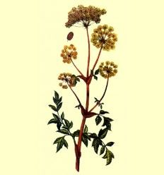 Angelica Raiz Cortada (Angelica archangelica) - 100 gramos