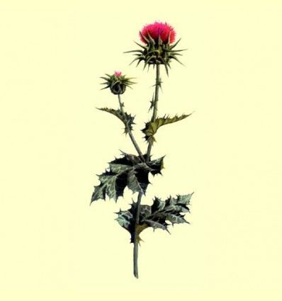 Cardo Mariano Planta Cortada (Silybum marianum) - 100 gramos