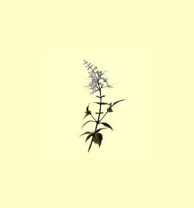 Ortosifón planta cortada - Orthosiphon stamineus - 100 gramos