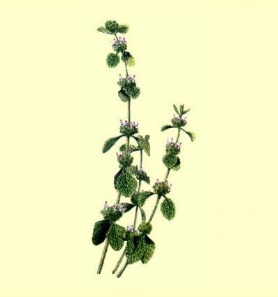 Marrubio planta cortada (Marrubium vulgare) - 100 gramos