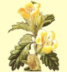 Damiana Hojas Cortadas (Turnera diffusa) - 100 gramos