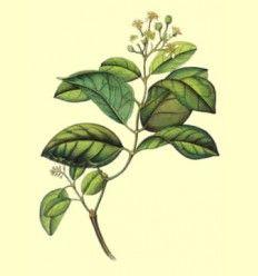 Boldo hojas enteras (Peumus boldus) - 100 gramos