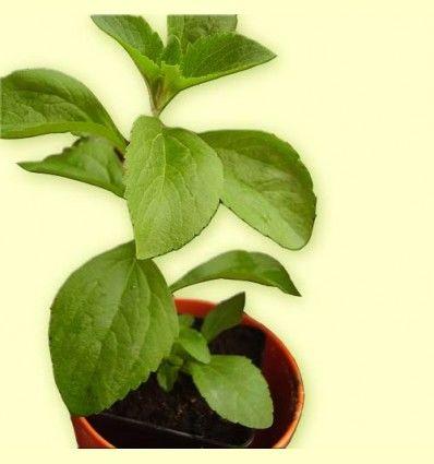 Estevia planta cortada (Stevia rebaudiana) 100 gramos de planta seca