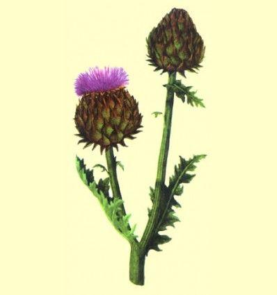 Alcachofera hojas cortadas (Cynara scolymus) - 100 gramos