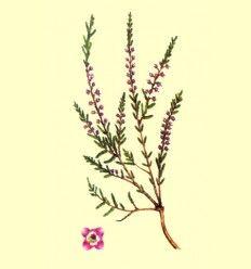 Brezo Flor (Calluna vulgaris) - 100 gramos