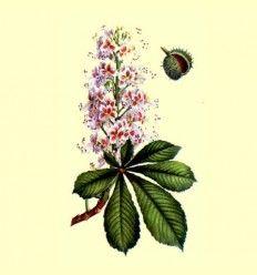 Castaño de Indias (Aesculus hippocastanum) - 100 gramos
