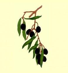 Olivo hojas enteras (Olea europaea) - 100 gramos