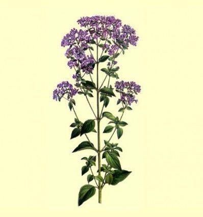 Oregano (Origanum vulgare) 50 gramos Extra