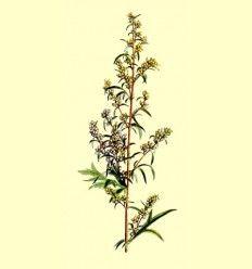 Artemisa Planta cortada (Artemisia vulgaris) - 100 gramos