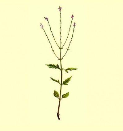 Verbena Planta Cortada (Verbena officinalis) - 100 gramos