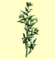 Mijo de Sol - Hierba Lithospermum Officinale L - 100 gramos