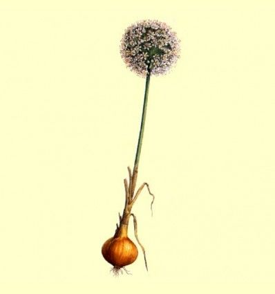Cebolla deshidratada - Venta a granel - 100 gramos