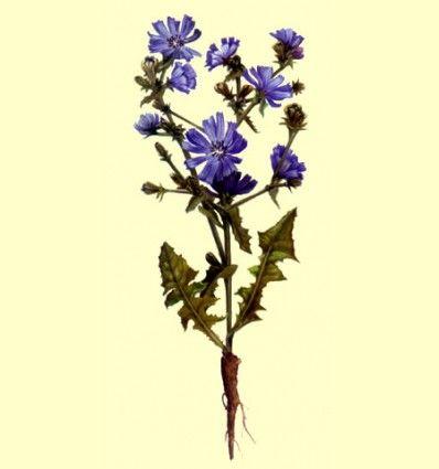 Achicoria - Raíz cortada (100 gramos)