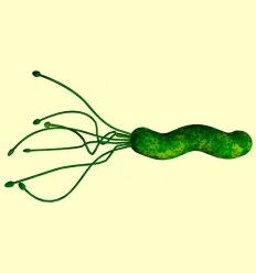 Helicobacter Pylori - Artículo informativo de Belén García