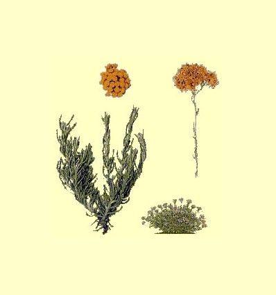 Helicriso (Helicrysum italicum) - Sol de Oro - Precio por 100 gramos