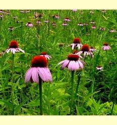 Equinacea purpura y equinacea angustifolia - Artículo informativo de Jaume Queral - Naturópata