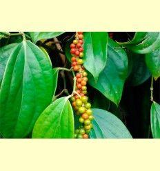 Piperine – La Piperina es un alcaloide - Artículo informativo