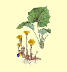 Tusílago Planta - Casapia - 100 gramos