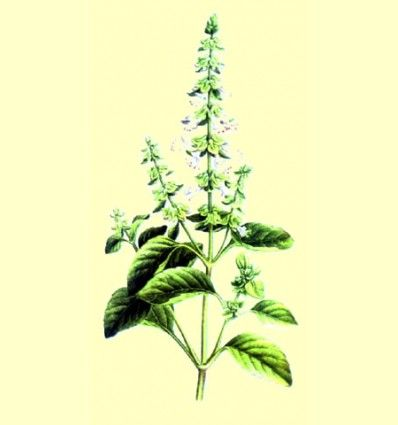 Albahaca Planta Cortada (100 gr.)
